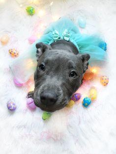 Easter Pitbull Girl