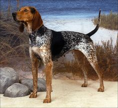 The American English coonhound is a descendent of the English foxhound and evolved from Virginia hounds. Originally used to hunt fox by day and raccoon by night, they were once called the English fox and coonhound. English Foxhound, American Foxhound, Hound Dog Breeds, Akc Breeds, Dog Breeders, Westminster Dog Show, Love My Dog, Airedale Terrier, Hunting Dogs