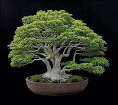 Growing bonsai from their seeds is essentially growing a tree from its seed. Get tips and guidelines on how to grow your first bonsai from its seed phase. Bonsai Plants, Bonsai Garden, Succulents Garden, Air Plants, Cactus Plants, Maple Bonsai, Juniper Bonsai, Bonsai Styles, Miniature Trees