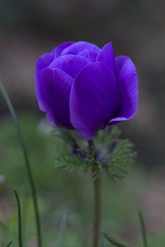 Flowers Y❤B <> Purple Anemone Exotic Flowers, Amazing Flowers, Purple Flowers, Colorful Flowers, Beautiful Flowers, Yellow Roses, Pink Roses, Blossom Garden, Blossom Flower