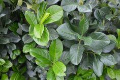 Kirschlorbeer 'Etna'   Der Prunus laurocerasus 'Etna' (Kirschlorbeer Etna) ist eine starke, kompakte Pflanze mit tiefgrünen, glänzenden Blättern. Diese Pflanze unterscheidet sich vom Prunus laurocerasus 'Rotundifolia' (Großblättriger Kirschlorbeer) durch ihren kompakteren Wuchs und die rote Farbe der Blätter an jungen Trieben.  Der Kirschlorbeer 'Etna' ist winterhart und die Blüte ist unauffällig.