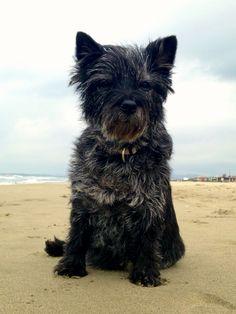 Red's Flame Morositas - Cairn Terrier 14 years old