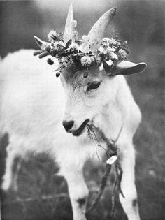 A goat wearing a flower crown? Adorable.