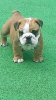 Adopt Sophia On French Bulldog Puppies Dog Crate
