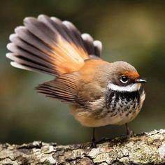 Found in Australia, Indonesia, Solomon Islands, New Guinea - Birds - animals Cute Birds, Pretty Birds, Small Birds, Little Birds, Colorful Birds, Most Beautiful Birds, Nature Animals, Small Animals, Art Nature