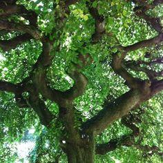 Mama tree at Kripalu Berkshires, MA..yes, she is that beautiful!