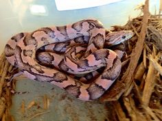 A better pic of one of my heliconia cornsnakes. Corn Snake, Reptiles, Turtle, Snakes, Pine, Animals, Children, Pine Tree, Young Children