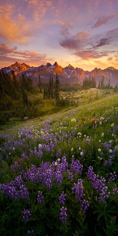 ~~Summer Nights ~ Lupin sunset, Mt Rainier, Washington by Lijah Hanley~~