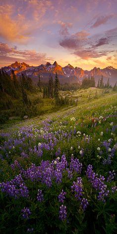 ~~Summer Nights ~ Lupin sunset, Mt Rainier, Washington by Lijah Hanley~~