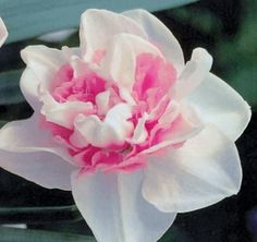 Pink ☼ Narcissus Replete ☼ Fall Planting Pink Ruffles Flower