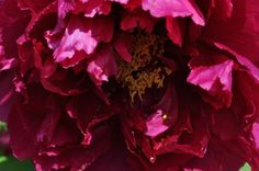 Once a Year, The Peonies Bloom— Spring Time, Peonies, Delicate, Bloom, Flowers, Plants, Plant, Royal Icing Flowers, Flower