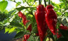 Pimenta vermelha ajuda a emagrecer e diminuir doenças cardiovasculares