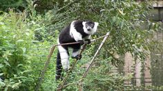 Vari du zoo de Mulhouse Bear, Animaux, Bears