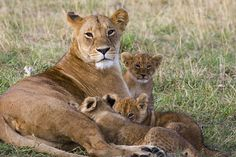 African Lion (Panthera leo) mother and young cubs, approx 8 weeks old,  nursing, vulnerable, Masai Mara National Reserve, Kenya.  By SUZI ESZTERHAS, MINDEN PICTURES, National Geographic Stock