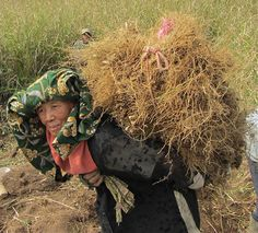 Join us for the Aromatic Indonesia Study Tour This woman is carrying a heavy bundle of freshly harvested Vetivert roots. https://www.achs.edu/aromatic-indonesia-aromatic-herbal-journey-through-spice-islands-0