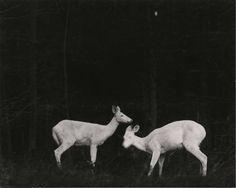 Deer, Michigan, by George Shiras, c. 1905. Shiras was a pioneer of nighttime trip-wire animal photography.