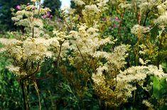 RHS Plant Selector Filipendula ulmaria / RHS Gardening