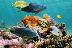 parrotfish-caribb_vilainecrevette-shutterstock_1066.jpg (1066×708)