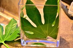 Fatsia Japonica Leaves Tabletop - I'll have to remember this, I have one of these plants. List Of Flowers, Cut Flowers, Fatsia Japonica, Cut Flower Garden, Table Top Display, Horticulture, Shrubs, Perennials, Floral Arrangements