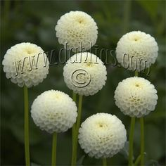 "TINY TREASURE (P) Introduced in 2003. Cute 1 1/2"" blooms of white in the true pom form. Bush grows to 3 1/2' and is a stocky, compact grower, making it a nice choice for the garden. Plant produces nice stems making it a good cut flower. Recommended as a cut flower."