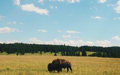Wildlife - Yellowstone National Park, WY
