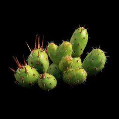 Maihueniopsis minuta (Backeberg) R.Kiesling 1984 origin area: northern Argentina (Jujuy, Salta), 1500-2500 m / 4921-8202 ft min. temp.(tested dry outdoor) <-12°C/<+10.4°F, max. shading : 20%, yellow flower, neutral soil