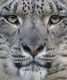Леопарды, Снежный Барс, Кошачий Дизайн, Большие Кошки, Планета Земля, Naturaleza, Живописные Пейзажи, Животные