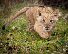 """A lion cub doing his """"sneaking up on you"""" practice."""