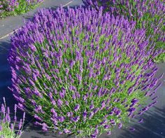 Lavender 'Munstead' very hardy in Bend and emits a lovely fragrance when brushed against.