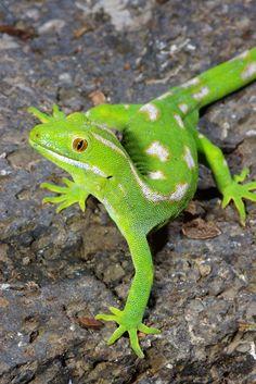 Naultinus Geckos -common green gecko-