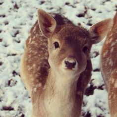 cute nose : ) I inherited my love of deer, especially fawns, from my Auntie Helen...Love them!