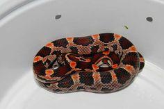 Abbott's Okeetee, 100% het Amel Cool Snakes