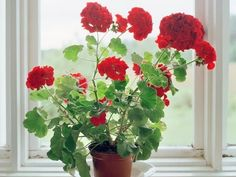 Geraniums Pictures, Photos, and Images for Facebook, Tumblr ...
