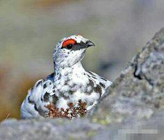 Sublime lagopède alpin(perdrix des neiges)