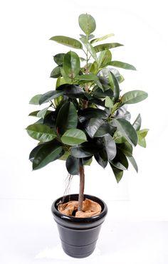 ficus tree | Ficus Elastica Rubber plant tree dim 110 couleur Vert - Type de plante ...