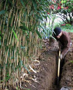 installation d'une barrière anti-rhizome à proximité de la plantation de bambous