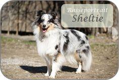 Rasseportrait Shelties - Shetland Sheepdog Shetland Sheepdog, Collie, Sheltie, Dogs, Animals, Doggies, Pictures, Animales, Animaux