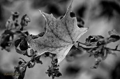 Black and White Glory By LeeAnn McLaneGoetz McLaneGoetzStudioLLC.com Even at night I will craddle the friend I have known all Summer may the fall be kind to you and may winter cover you in a blanket of warmth. Macomb Orchard Trail Washington Michigan # Maple,#black and White