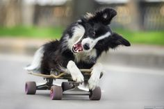 Ivy by Margaret German on Border Collie Humor, Border Collie Puppies, Collie Dog, Baby Dogs, Pet Dogs, Dogs And Puppies, Dog Cat, Doggies, Funny Animals