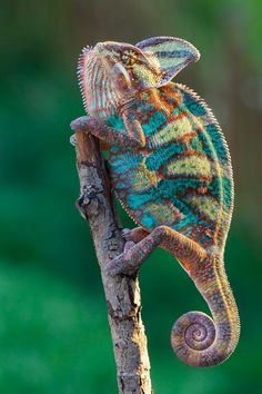 I thought this was a super cool knitted chameleon done in sock yarn! It is really a beautiful photo of a real chameleon, but it gave me the fun idea of knitting one up! Beautiful Creatures, Animals Beautiful, Nature Animals, Animals And Pets, Cute Animals, Baby Animals, Reptiles Et Amphibiens, Mammals, Flora Und Fauna