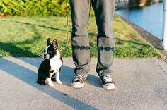 Boston Terrier puppy #BostonTerrier