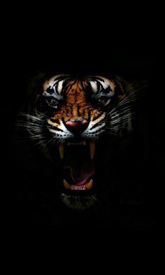 jbl photography In the Dark Wild Animal Wallpaper, Tiger Wallpaper, Majestic Animals, Animals Beautiful, Cute Animals, Tiger Artwork, Lion Images, Lion Art, Wildlife Art