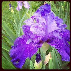 gorgeous iris after the rain.