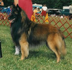 Belgian Tervuren | Belgian Tervuren pictures, information, training, grooming and puppies ...