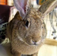 Cassidy is an adoptable Palomino Rabbit in Iowa City, IA Cassidy likes to have his cheeks and nose rubbed. He is an opinionated guy who seems to get alo ... ...Read more about me on @petfinder.com