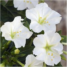 Package of 60 Seeds White Four O Clock Mirabilis jalapa Seeds By Seed Needs *** Details can be found by clicking on the image.