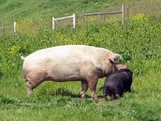 Adult mini potbelly pig - photo#23