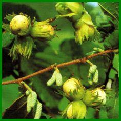 Haselnuss, robuste Sträucher mit Früchten zum Knabbern Fruit, Garten