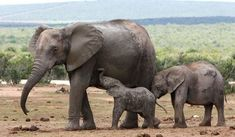 What are Mammals Worldatlas Mammals, Elephant, Africa, Google Search, Decoration, Gifts, Elephants, Deko, Decorating