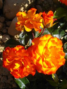 Rosier Lambada Coups, Plants, Rose Bush, Beautiful Roses, Colors, Plant, Planets